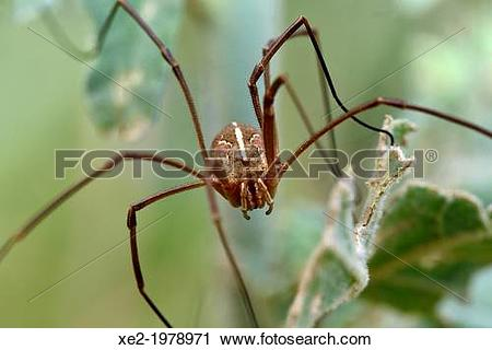Stock Photography of Opiliones formerly Phalangida are an order of.