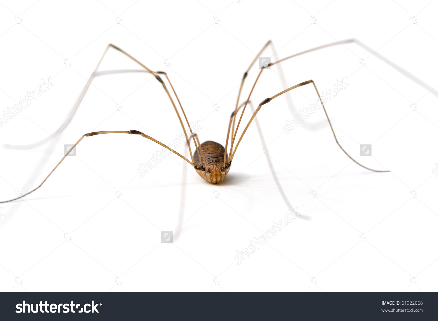 Daddy Long Legs Opiliones Stock Photo 61922068.