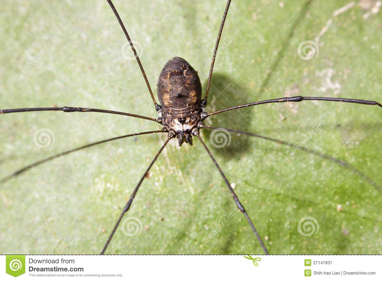 Opiliones Stock Image.