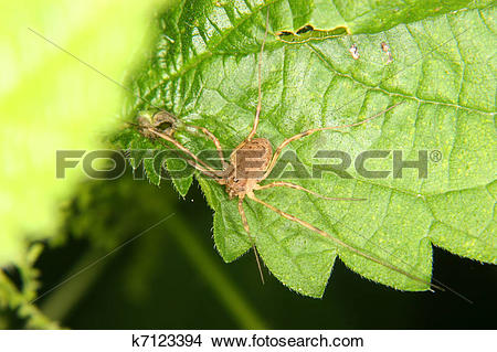 Stock Photo of Daddy longleg (Opiliones) k7123394.