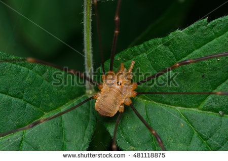 Harvestman Stock Photos, Royalty.
