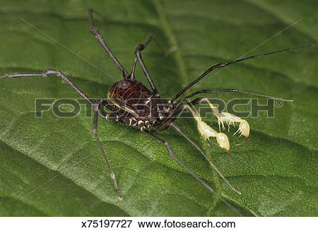 Picture of Daddy longlegs (order Opiliones) on leaf, Colombia.