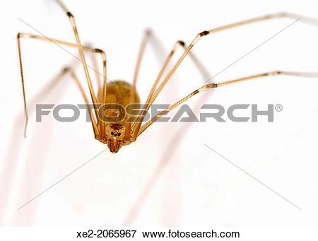 Picture of Opiliones formerly Phalangida are an order of arachnids.