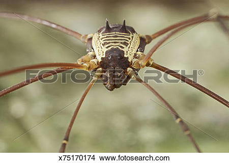 Stock Photo of Daddy longlegs (order Opiliones), Colombia.