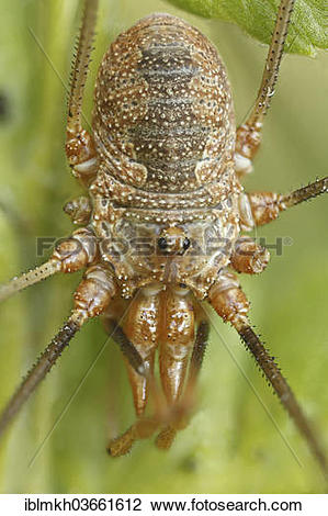 Stock Photo of Harvestman or Daddy Longlegs (Opiliones spec.