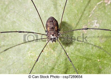 Stock Photo of Opiliones stay on leaf in forest at night.