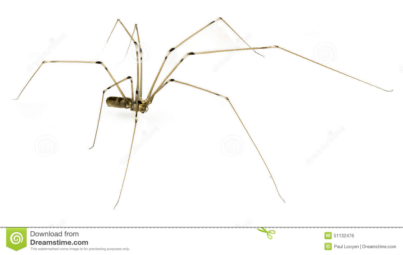 Daddy Long Legs Stock Photo.