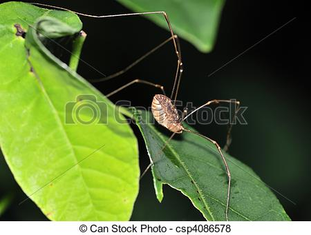 Pictures of A daddy longlegs perched on a plant leaf.Class.