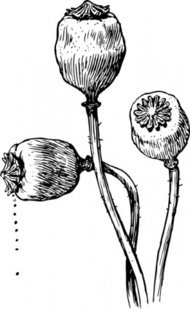 Opium Poppy Clip Art Download 24 clip arts (Page 1).