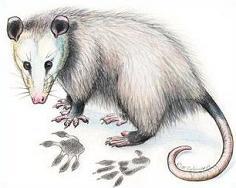 Free Opossum Clipart.