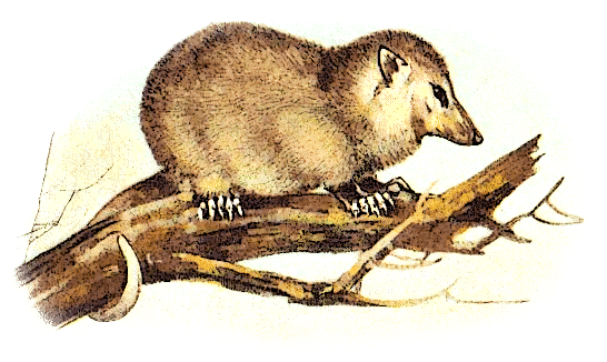 Free Opossum Clipart, 1 page of Public Domain Clip Art.