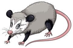 Opossum Stock Illustrations.