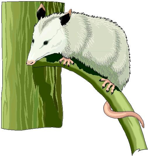 Opossum Clipart.