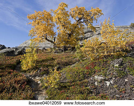 """Stock Photograph of """"Birch forest in autumn, Leirdal valley."""