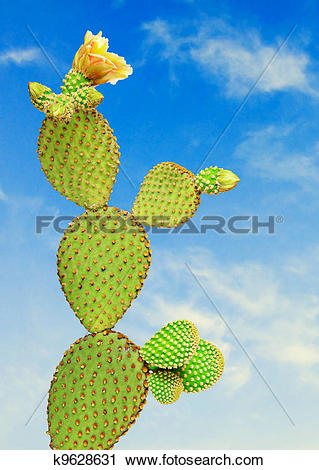 Stock Photography of Opuntia cactus k9628631.