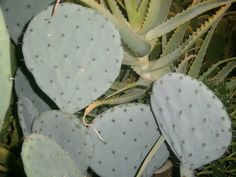 Opuntia robusta (Wheel Cactus, Silver Dollar Cactus, Dinner Plate.