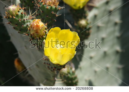 Opuntia Robusta Stock Photos, Images, & Pictures.