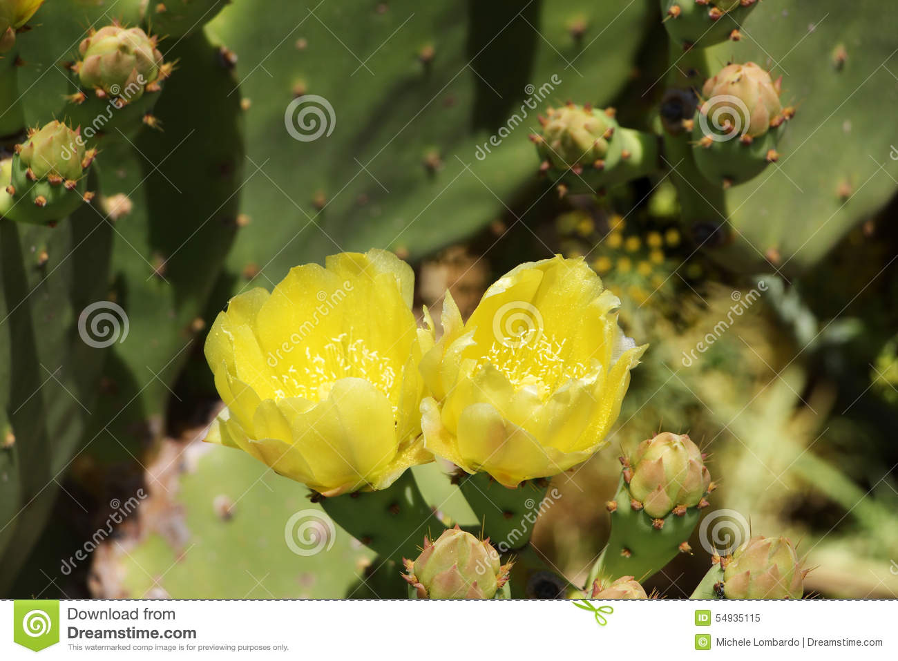 Flowering Opuntia Robusta, Prickly Pear Stock Photo.
