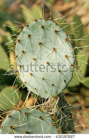Paddle Cactus Stock Photos, Royalty.