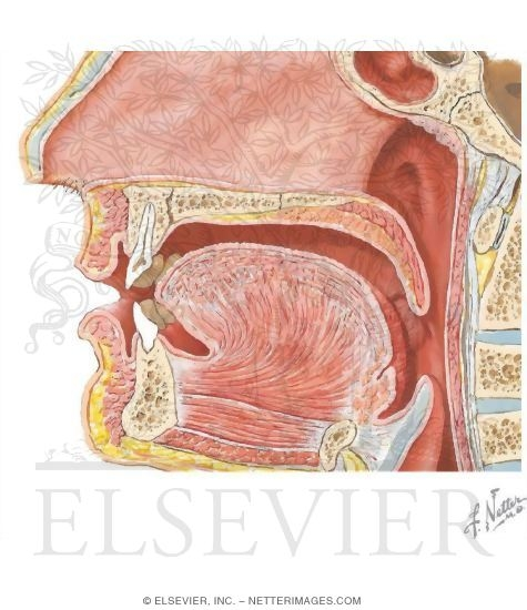Anatomy of the Oral Cavity.
