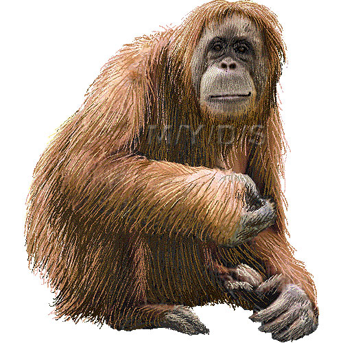 Orangutan Clipart Page 1.