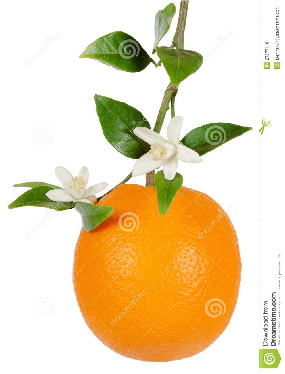 Orange Blossom Tree Branch Clip Art.