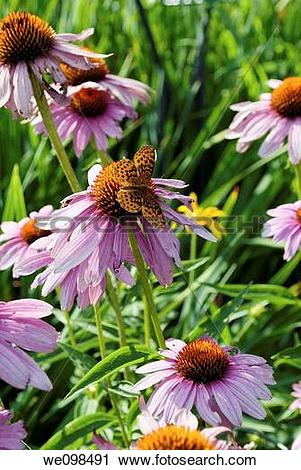 Stock Photography of A group of Purple Coneflowers and a black and.