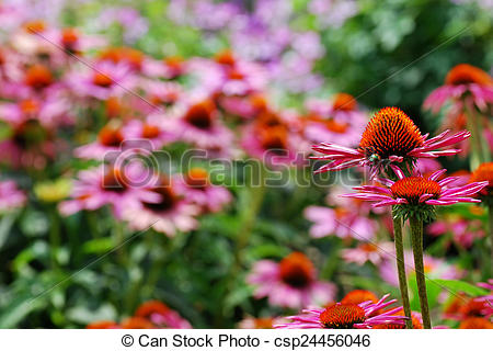 Stock Photo of Never Ending Field of Pink and Orange Echinacea.