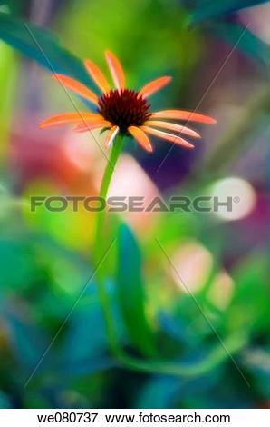 Picture of Orange Coneflower. Echinacea hybrid. June 2007.