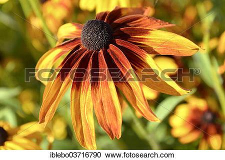 """Stock Photography of """"Orange Coneflower (Rudbeckia fulgida."""