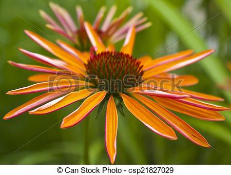 Stock Photo of Echinacea.