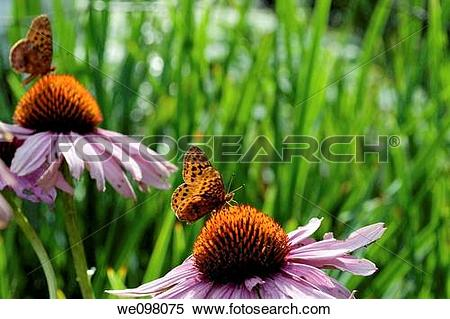 Stock Image of Two orange and black butterflies on Purple.