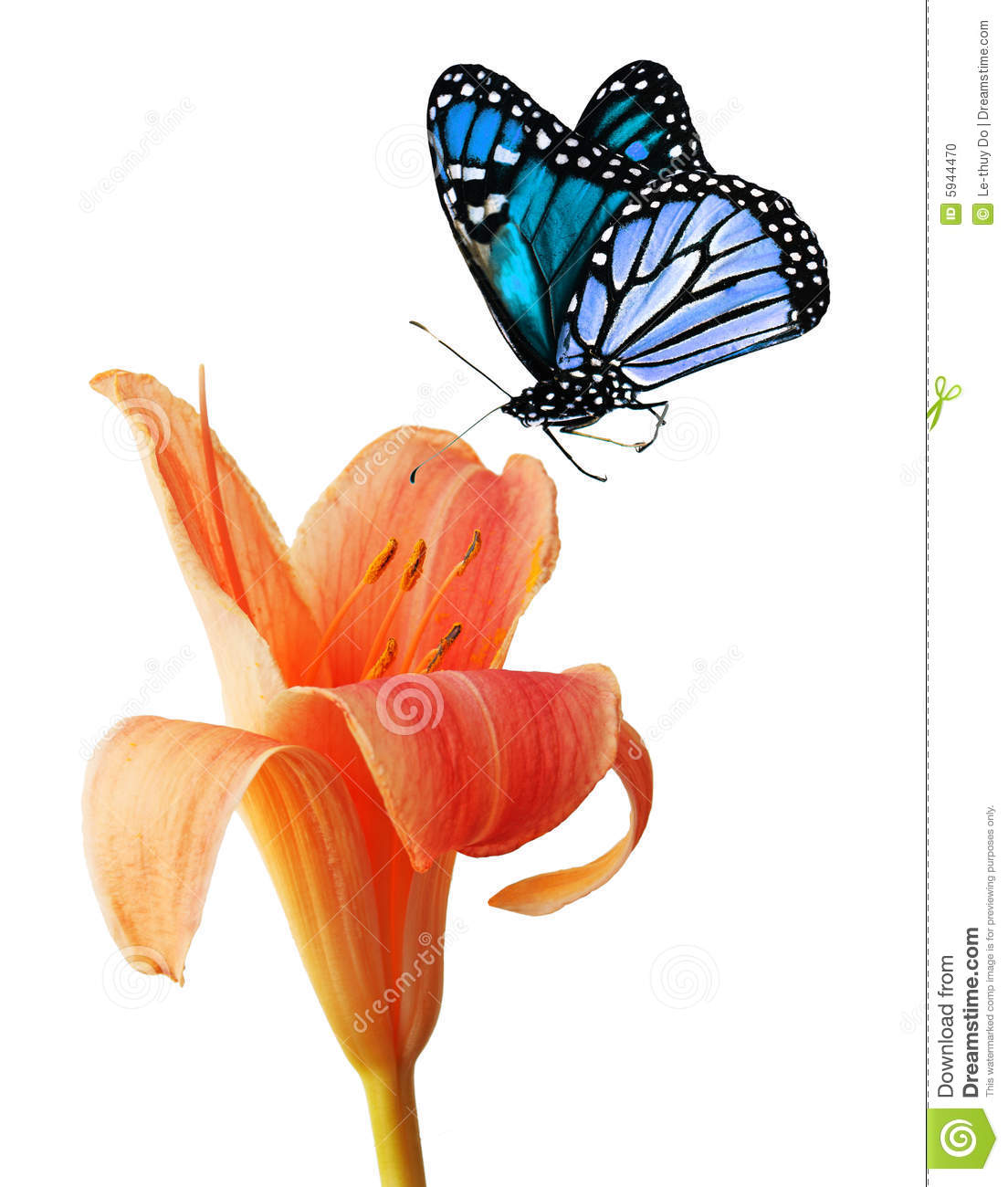 Day Lily And Blue Butterfly Stock Photo.