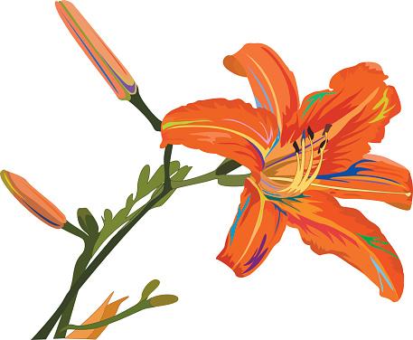 Tiger Lily Clip Art, Vector Images & Illustrations.