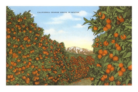 California Orange Grove in Winter.