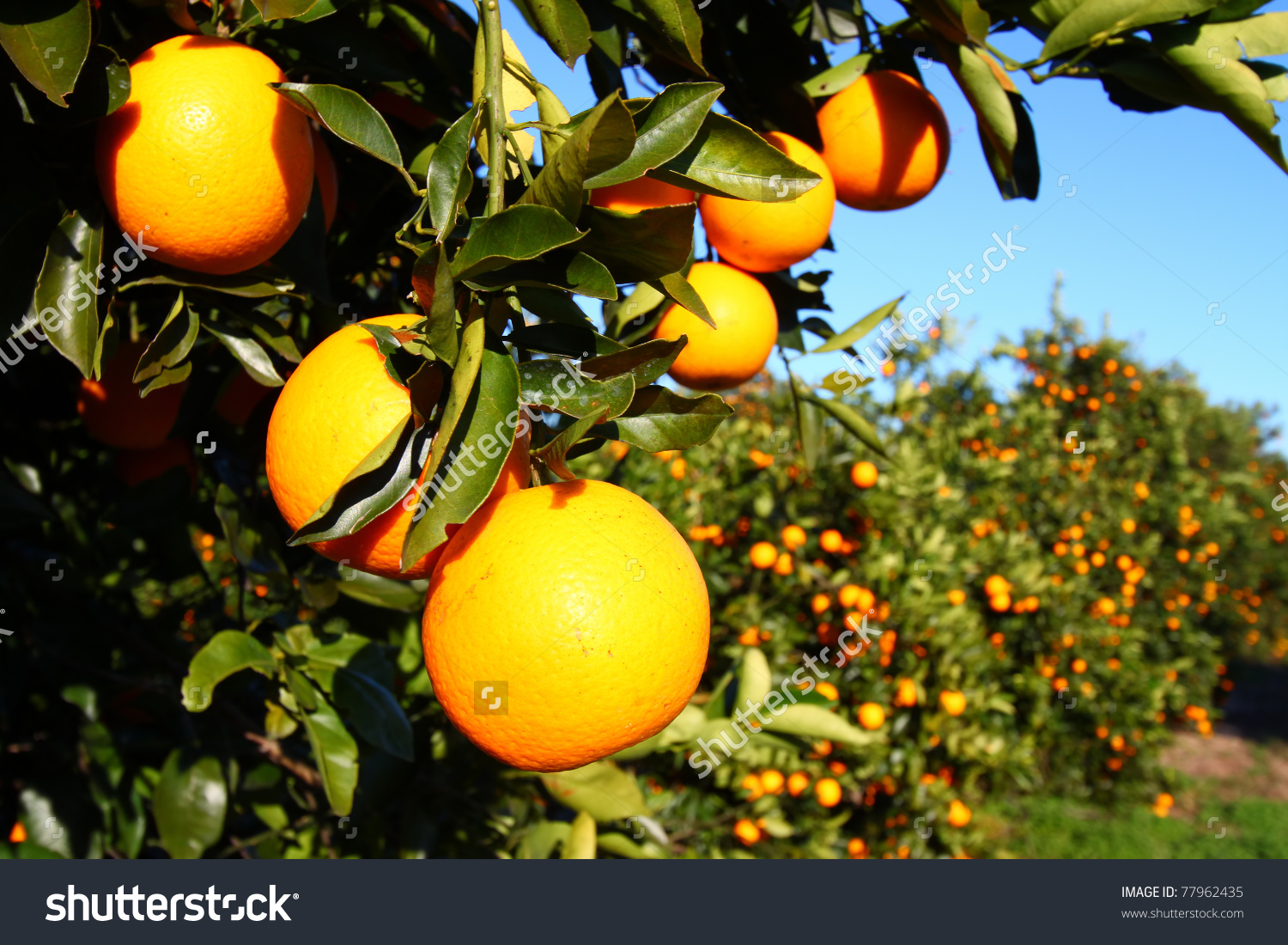 Beautiful Orange Groves Florida On Sunny Stock Photo 77962435.