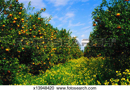 Orange grove Stock Photos and Images. 3,100 orange grove pictures.