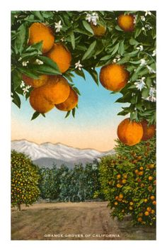 Orange grove clipart.