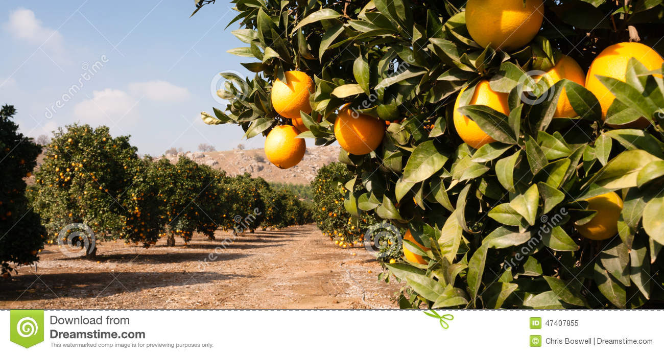 Orange Grove 5 Royalty Free Stock Photos.