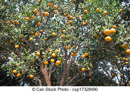 Stock Photographs of Mature orange grove csp17328490.