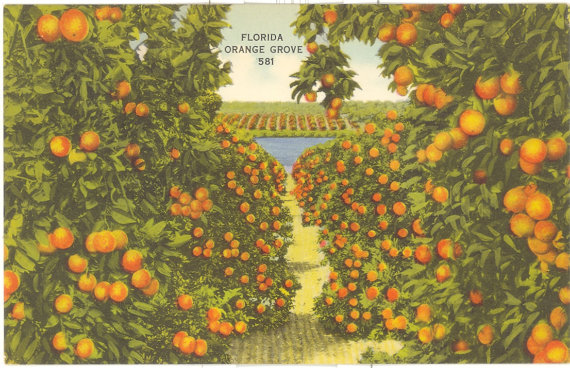 Vintage Florida Postcard Florida Orange Grove by savannahsmiles4u.