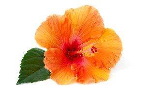 Orange hibiscus Photos, Graphics, Fonts, Themes, Templates.