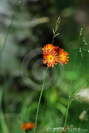 Orange Hawkweed In Green Meadow Royalty Free Stock Photo.