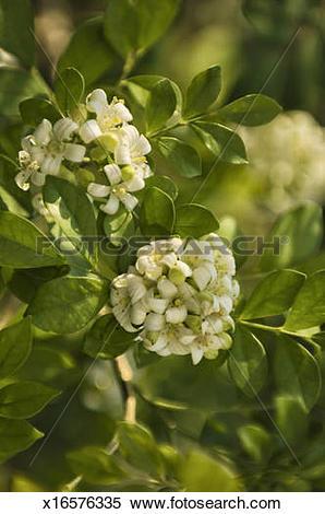 Stock Image of Murraya Paniculata. Orange Jasmine x16576335.