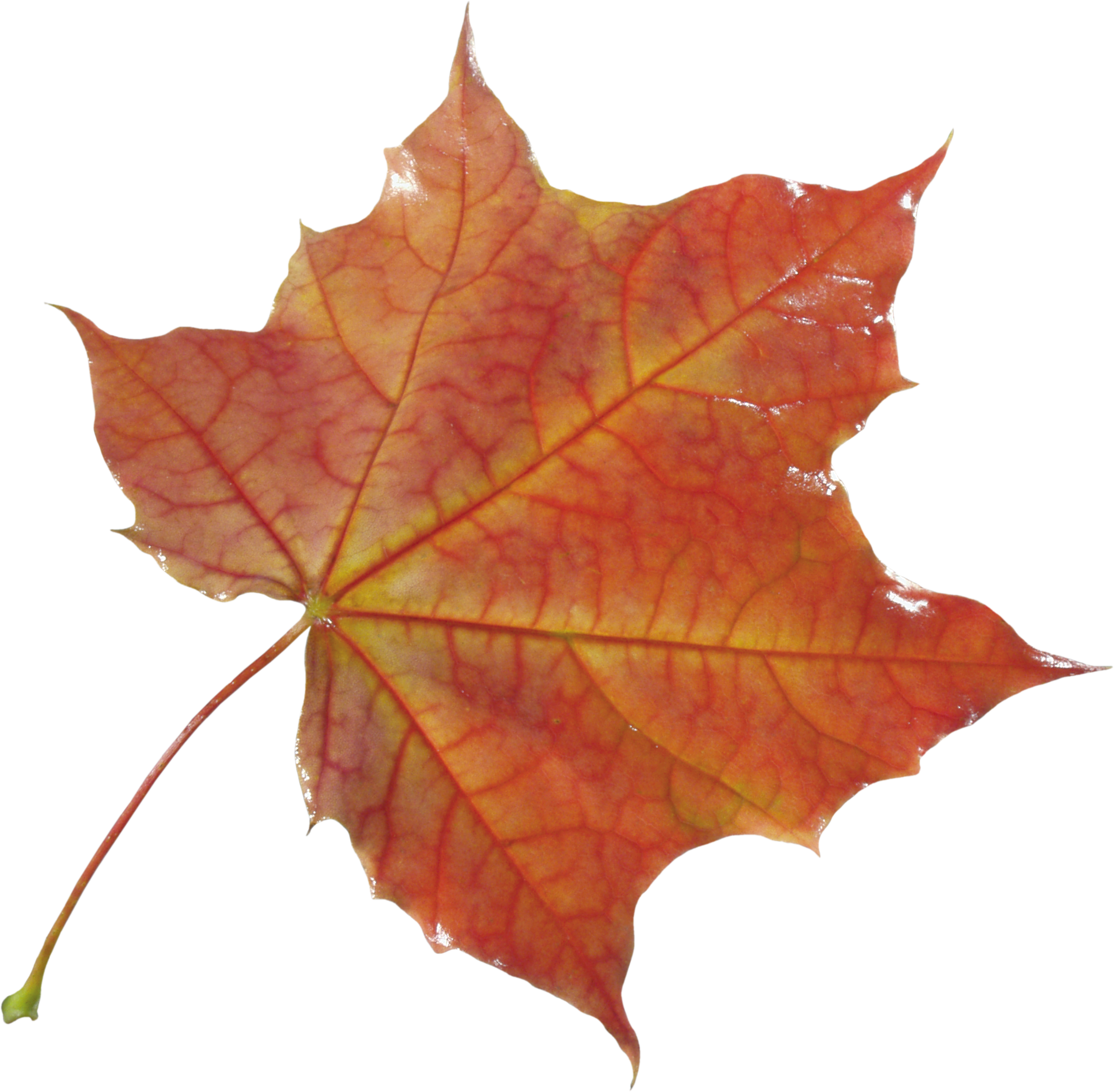 Autumn leaves PNG images, free PNG yellow leaves pictures.