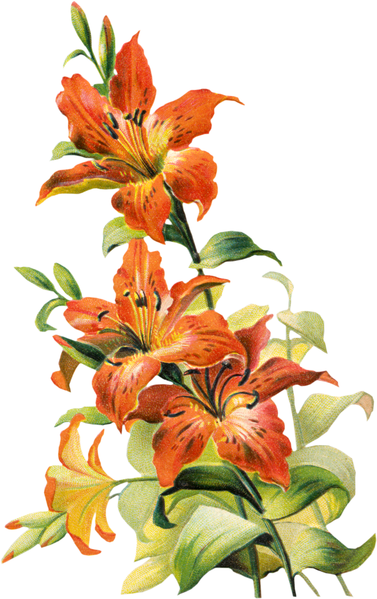 Orange lilies clipart - Clipground