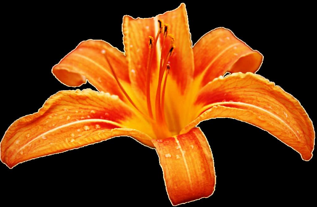 Orange lily clipart.