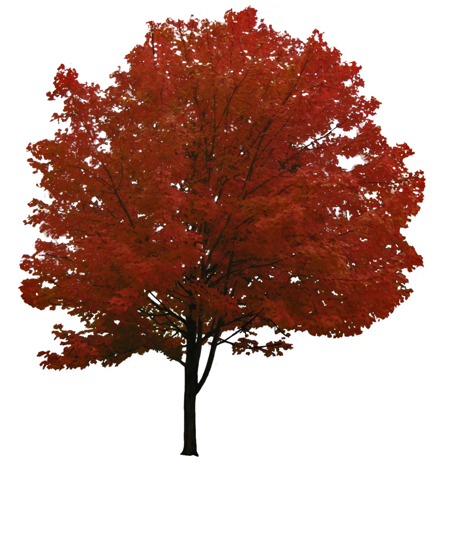 clipart maple tree with falling seeds 20 free Cliparts ...