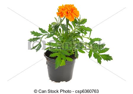 Stock Photos of Marigold plant.