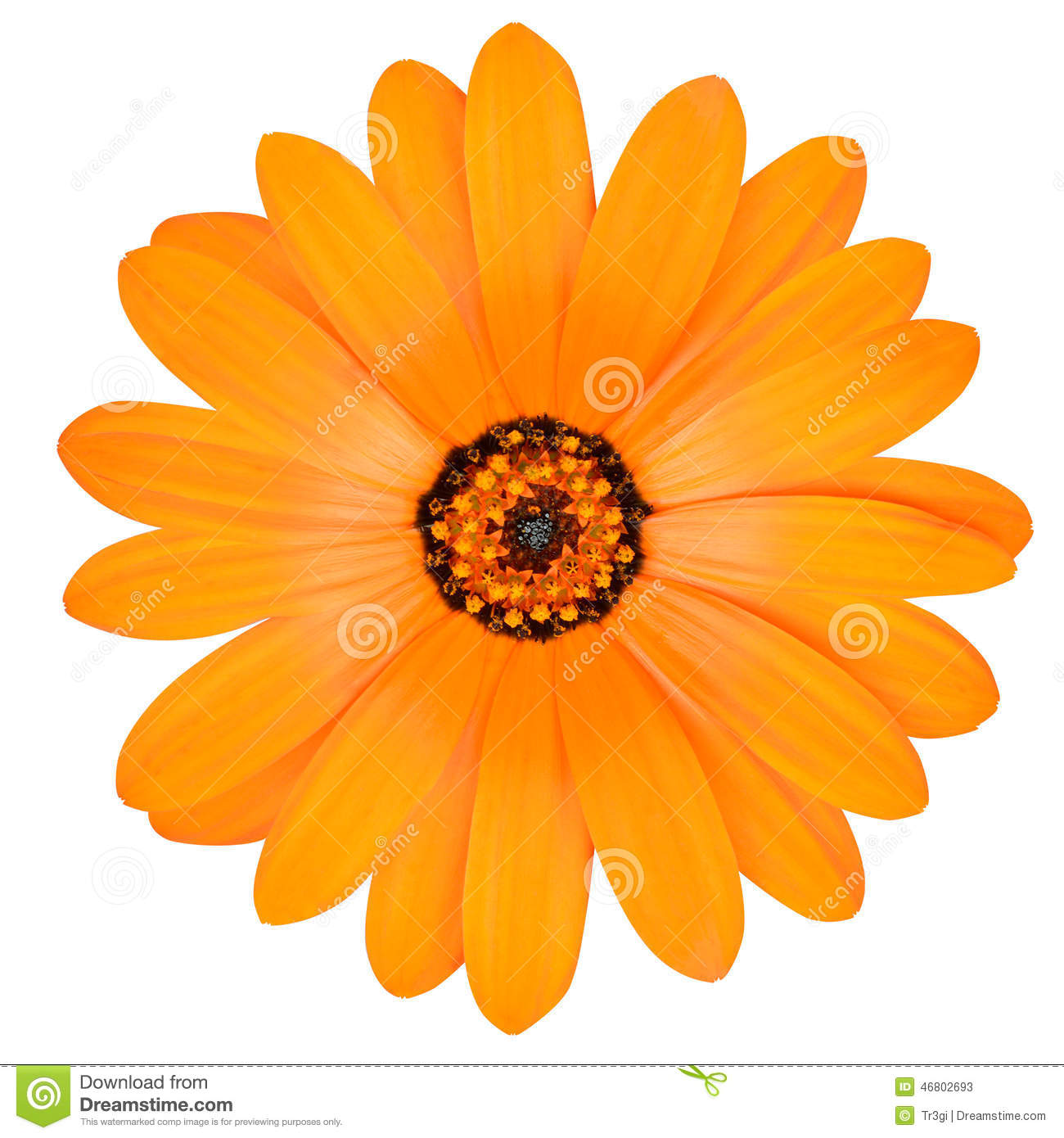 Orange Pot Marigold Flower In Full Bloom Isolated Stock Photo.